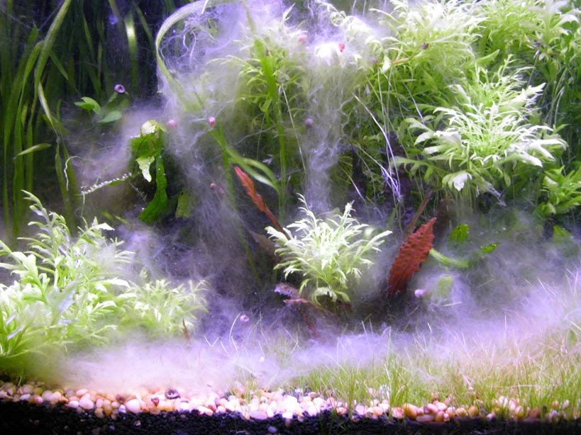 aquarium white fungus 1000 aquarium ideas