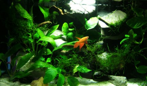 Click image for larger version  Name:Betta.JPG Views:20 Size:69.9 KB ID:61135