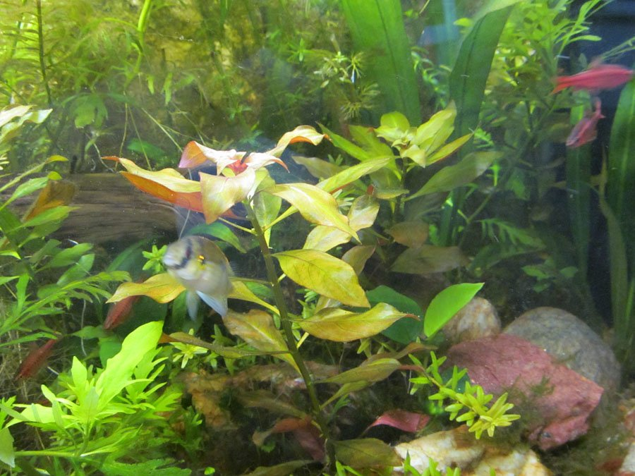 Click image for larger version  Name:Ludwigia1.JPG Views:87 Size:183.5 KB ID:63963