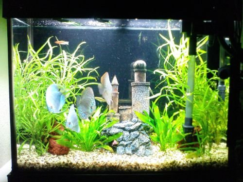 Click image for larger version  Name:planted discus 2.jpg Views:237 Size:91.0 KB ID:7707
