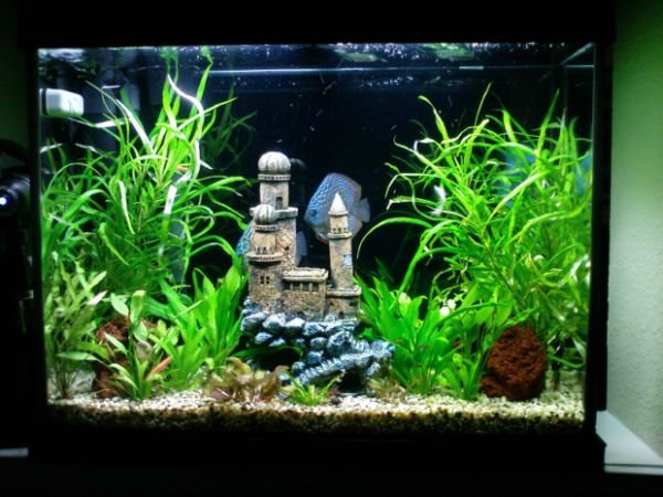 Click image for larger version  Name:planted discus.jpg Views:273 Size:96.5 KB ID:7706