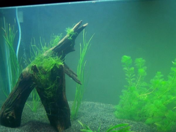 Click image for larger version  Name:Tank planted left.jpg Views:95 Size:44.9 KB ID:5036