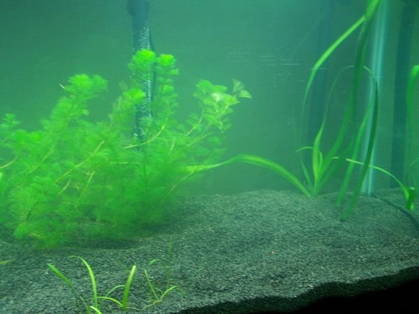 Click image for larger version  Name:Tank planted right.jpg Views:111 Size:52.7 KB ID:5037