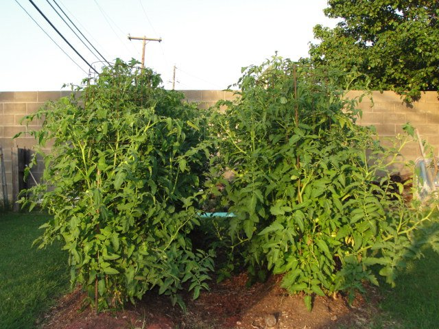 Click image for larger version  Name:Tomato Plants 021.JPG Views:154 Size:154.3 KB ID:24978