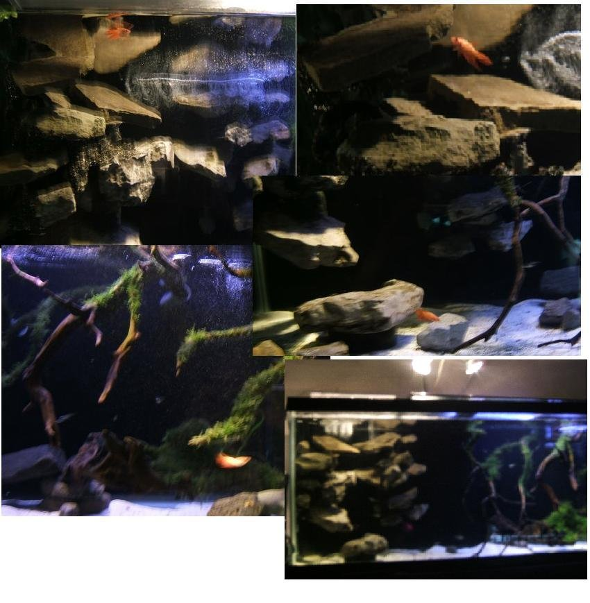 Click image for larger version  Name:zzz Orange Betta in 75 Sept 19 2009-001.JPG Views:22 Size:91.3 KB ID:61141