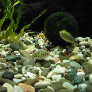 Green spotted puffers