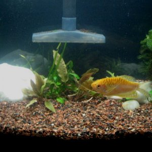 The Vicious Gold Gourami - Side