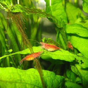Cherry Pregnant Shrimp