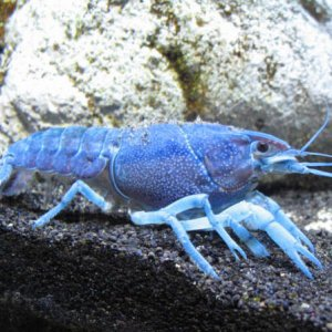 18 Blue Crayfish