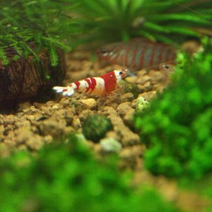 26 Crystal Red Shrimp