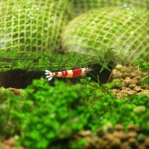 27 Crystal Red Shrimp