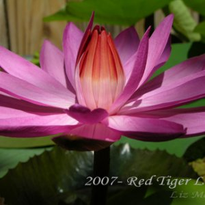 Red Tiger Flower