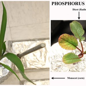 Phosphorus Deficiency in Radish