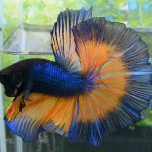 Mustard Gas Butterfly Halfmoon Betta