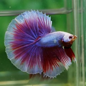 Salamander Dragon Halfmoon Betta