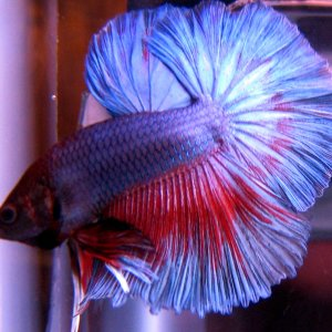 Blue/Red Wash Halfmoon Betta