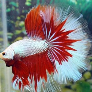 Red Dragon Halfmoon Betta