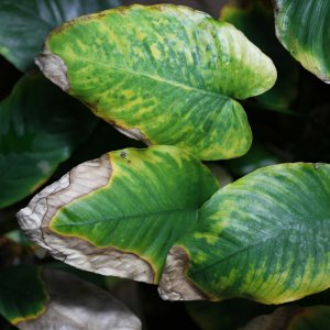 Phosphate Deficiency In Anubias Emersed Form 2