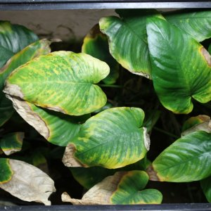 Phosphate Deficiency In Anubias Emersed Form 1