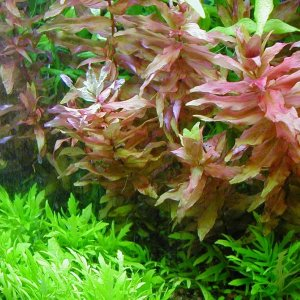 Iron Deficiency In Rotala Macrandra