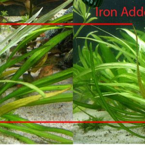 Iron Deficiency In Helanthium bolivianum Latifolius